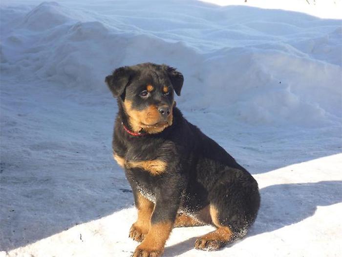 Фото - щенок ротвейлера
