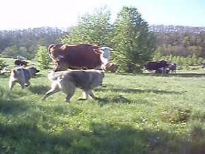 Фото - собака-охранник стада