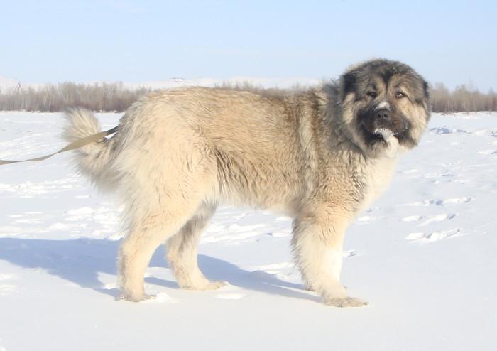 Фото - кавказская овчарка зимой