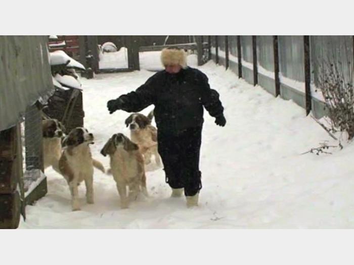 Фото - щенки московской сторожевой  собаки