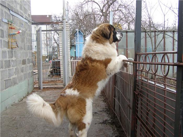 Фото - взрослая собака