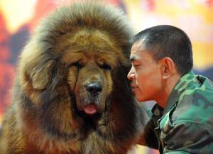 Фото - уход за тибетским мастифом