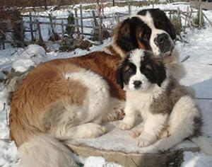 Фото - лучшие сторожевые собаки