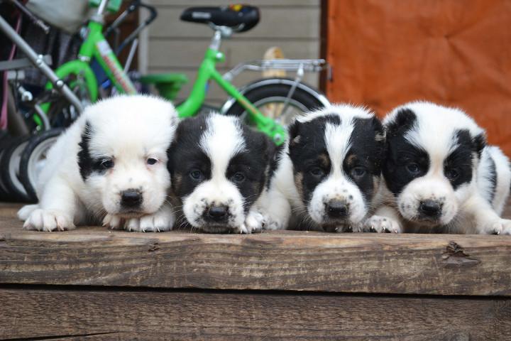 Фото - щенки алабая