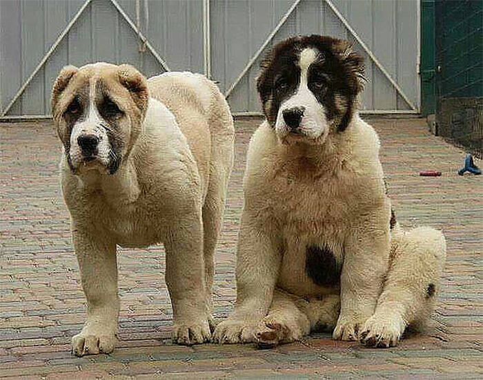Фото - два щенка среднеазиатской овчарки