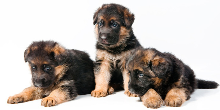 Фото - щенки немецкой овчарки