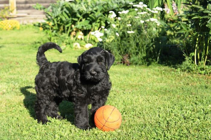 Фото - щенок с мячем