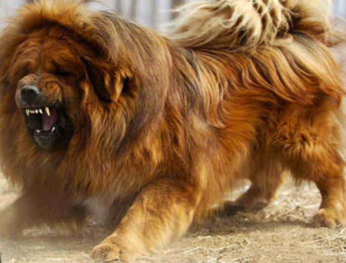 Фото - собака в ярости